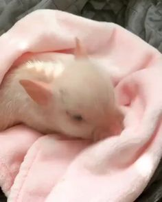 me trying to get comfortable before falling asleep me trying to get comfortable before falling asleYou can find Teacup pigs and . Cute Baby Pigs, Cute Piglets, Baby Teacup Pigs, Teacup Piglets, Baby Piglets, Baby Animals Pictures, Cute Animal Pictures, Animals And Pets, Cute Little Animals
