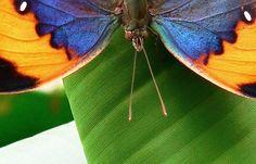 """@FionaBunn1 -  """"Leaf Butterfly #SensationalButterflies @NHM_London"""""""