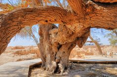 THE OLDEST TREE IN ISRAEL IS IN BIBLICAL TAMAR