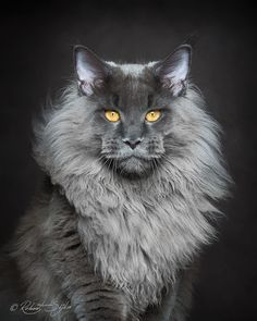 Maine Coons by photographer Robert Sijka