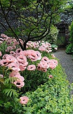 Pink poppies in an overgrown garden with stone wall and slatted gate. A secret garden Pink Poppies, Pink Flowers, Poppy Flowers, Art Flowers, Exotic Flowers, Pink Roses, Garden Cottage, Tuscan Garden, Prairie Garden