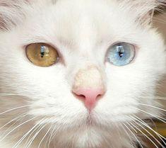 ♥CCG♥ 123  ODD EYED CAT