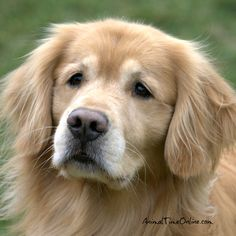 """""""The average Golden is a nicer person than the average person. Retriever Puppy, Dogs Golden Retriever, Golden Retrievers, Cute Puppies, Cute Dogs, Old Dogs, Beautiful Dogs, Dog Life, Dog Pictures"""