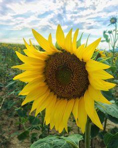 "Páči sa mi to: 24, komentáre: 1 – Martin Bugár (@martin_bugarr) na Instagrame: ""Sunflower with wasps 🌻🐝#2017 #sunflower #wasps #nature #light #beautifulday"""