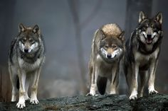 Wolf pack, photo by Franco Pacelli Beautiful Creatures, Animals Beautiful, Cute Animals, Wolf Spirit, My Spirit Animal, Tier Wolf, Canis Lupus, Wolf Hybrid, Husky