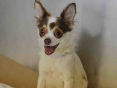 Safe - 12-24-2016 Manhattan  Rescue: Next Stop Forever  Please honor your pledges: http://nextstopforever.webs.com/donateSUPER URGENT Manhattan Center SUZY – A1100282 FEMALE, WHITE / TAN, CHIHUAHUA LH MIX, 10 yrs STRAY – STRAY WAIT, NO HOLD Reason STRAY Intake condition EXAM REQ Intake Date 12/22/2016, From NY 10463, DueOut Date 12/25/2016, I came in with Group/Litter #K16-084928.