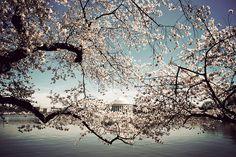 DC at Cherry Blossom Season  #Washington_DC #cherry_blossoms