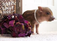 One purpose of this site is to provide information about various types of pet pigs.  If you are informed about Teacup Pigs, Mini Juliana Pigs, Potbelly Pigs, and Micro Mini Pigs you will make an educated choice as you consider a pet pig for your family.  Another purpose is to improve and preserve one of the smallest miniature  pigs in the world, the Mini Juliana Pig.
