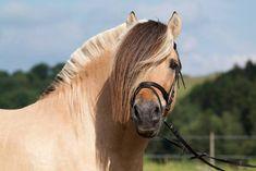 Most Beautiful Animals, Beautiful Creatures, Curly Horse, Horse Markings, Fjord Horse, Les Fjords, Unicorn Horse, Cute Horses, Draft Horses