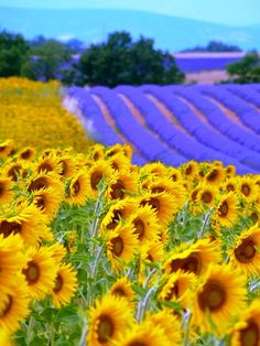 Mixed fields in #spring. Imagine standing in the sun with the smell of lavender and sunflowers all around you! <3