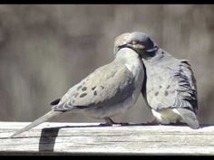 Mourning Doves also hang outside our bedroom. I hear they mate for life.like my husband and I :-) Karel Gott, Dove Pigeon, Mourning Dove, Heavy Metal Rock, Cute Creatures, Love Birds, Bird Feathers, Folk, Silver Wings