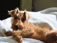 Irish pup