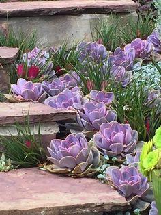 Echeveria Perle Von Nurnberg - front yard landscaping ideas with rocks Succulent Landscaping, Succulent Gardening, Landscaping With Rocks, Cacti And Succulents, Planting Succulents, Backyard Landscaping, Planting Flowers, Landscaping Ideas, Succulent Rock Garden