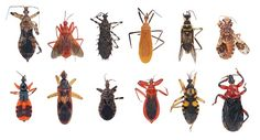 Researchers have reconstructed a new phylogeny of assassin bugs, shedding light on their evolutionary history.