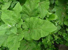 The leaves of greater burdock growing in East Sussex, UK.