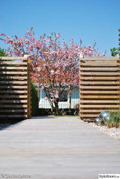 trädgård,silverklot,japanskt körsbärsträd,trädgårdsgång,trägång