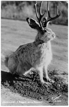 """""""Jackalope    Sometime during the 1930s (the exact date remains disputed), an animal with the body of a jackrabbit and the antlers of a deer appeared in Douglas, Wyoming."""" (Smithonian magazine)"""