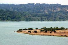 Elephnats at the water's edge in Queen Elizabeth National Park, Uganda