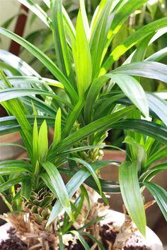 Pandan (Screwpine) - a 'green' spice you can grow indoors