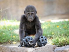 """""""My toys !"""" Baby Gorilla by Noah M on Flickr."""