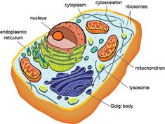 animal cell model diagram project parts structure labeled coloring rh pinterest com  eukaryotic animal cell diagram labeled
