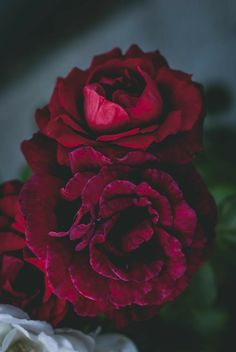 Flower Iphone Wallpaper, Cellphone Wallpaper, Wallpaper Backgrounds, Big Flowers, Pretty Flowers, Rose Photography, Landscape Photography, Beautiful Red Roses, Cute Rose