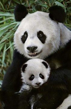 Mom & baby panda