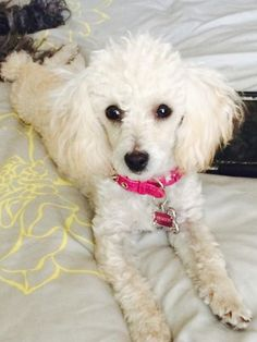 Thank you Chelsea for sharing with The Poodle Patch Community...
