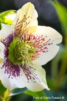 Helleborus 'Yellow Spotted'