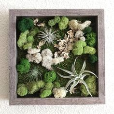 Framed Vertical Wall Garden with Three Air Plants (Tillandsia) and Reindeer Moss with Lichen inches 4 frame color options Air Plant Display, Diy Plant Stand, Succulent Wall Art, Plant Wall, Air Plants, Indoor Plants, Micro Garden, Vertical Vegetable Gardens, Moss Wall Art