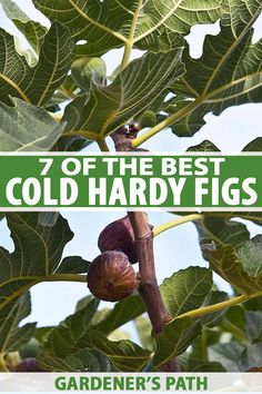 Love the flavor of figs but worried that you can't grow them because you live too far north? Northern gardeners have plenty of options for varieties that do well in colder climates. Learn about 7 of the best cold hardy fig trees and top tips on how to care for them in the winter on Gardener's Path #figs #gardenerspath
