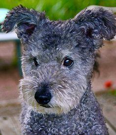 Pumi dog Looks like a Schnauzer cross Poodle cross Wire