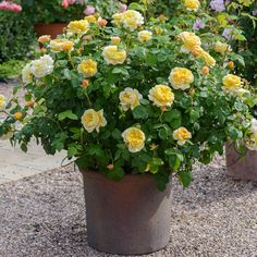 Buy Charles Darwin from David Austin with a 5 year guarantee and expert aftercare. Charles Darwin, Planter Rosier, Roses David Austin, Deadheading Roses, Rose Hedge, Pots, Comment Planter, Rose Care, Shrub Roses