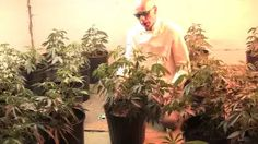 marijuana growing - YouTube