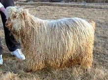 Coon Hollow Farm handsome red yearling Angora Goat
