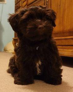 Shih Tzu Puppy, Havanese, Chocolate Brown, Puppies, Dogs, Animals, Baby Shih Tzu, Cubs, Animales
