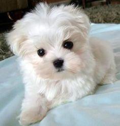 maltese pup... Look how cute!
