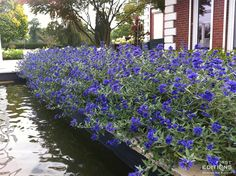 If you're looking for a pop of bright color in your fall garden, look no further than Sapphire Surf™ Bluebeard. It is a compact, low-maintenance shrub that gives you blue blooms in late summer and fall. On top of that, it is a butterfly magnet and deer resistant. For the southern gardener, an added benefit is that it is a drought tolerant shrub, so you can plant and enjoy!