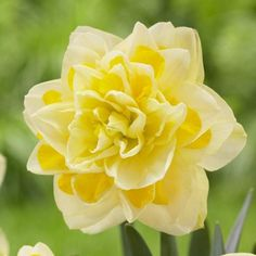 Daffodil Narcissus Double 'Sweet Pompenette.' I love these, they smell SO good  :)