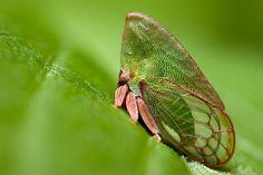 Tree hopper,Family Membracidae by Sharon_S, via Flickr