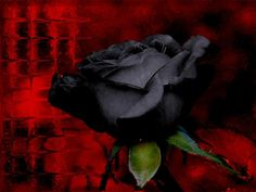 Black rose with red background Black And Red Roses, Black Rose Flower, Black Flowers, Red Black, Gothic Flowers, Purple Rose, Rose Flower Wallpaper, Flower Backgrounds, Dark Rose