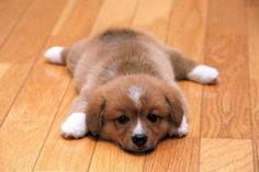 chiot fatigué