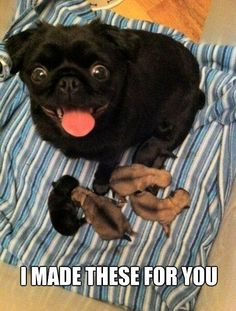 Since Join the Pugs bring the cuteness to Pug lovers all over the world. If you love Pugs. you'll love our website and social media. Pug Love, I Love Dogs, Cute Dogs, Baby Animals, Funny Animals, Cute Animals, Animal Memes, Animal Quotes, Animal Humor