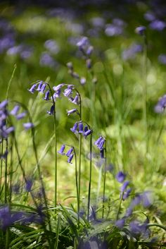 from the 'bluebell wood' .