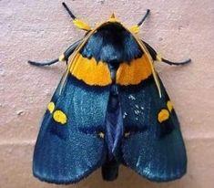 African Peach Moth (Egybollis vaillantina) found south of the Sahara Desert in the Arabian Penninsula, southern Iran and Pakistan Beautiful Bugs, Beautiful Butterflies, Beautiful Creatures, Animals Beautiful, Cute Moth, Colorful Moths, Cool Bugs, Moth Caterpillar, Insect Art