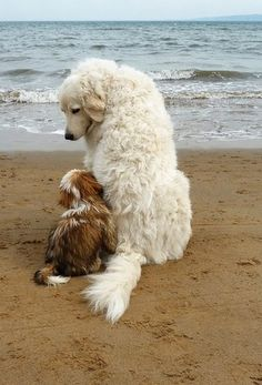 "BJ wrote: ""One of the sweetest doggy pictures I have seen in a long time. Gentle, kind and caring. As the 'wee one' seems somewhat afraid. The older more experienced dog seems to know that a great deal of comfort is needed. Humans can learn a lot from watching the animals in the world."" ~K~ I agree!"