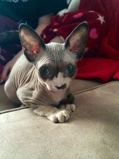 Gaia, chat Sphynx Plus