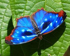 Orsis blue wing butterfly, Myscelia orsis (Nymphalidae - Biblidinae). This species occurs in the Atlantic forest of South America, where it appears to be abundant in forest fragments