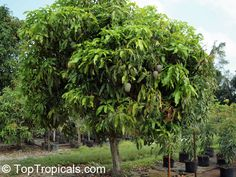 Mangifera indica - Julie Mango (Dwarf)  compact, dwarf tree. This is the most popular variety in Trinidad because of its rich, sweet, coconut/pineapple-like flavor. To fully enjoy this unique tasting mango, it is best to eat on the same, or next day after it falls from the tree before it gets too ripe. In Florida it is sought after for its dwarf growing habit. Fungus problems which lead to twig die back are common, making fungicide applications necessary for success.