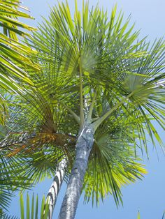 Mauritiella armata Tree Fern, Tropical Gardens, Palmiers, Ferns, Palm Trees, Planets, Flora, Most Beautiful, Home And Garden